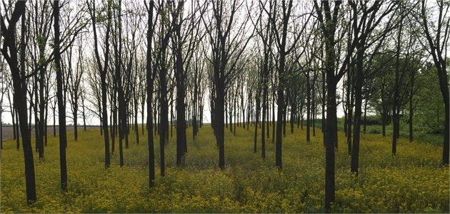 Budding Trees in Springtime